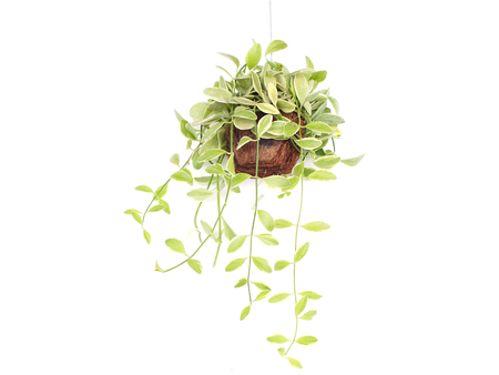 house plant hanging on white background Stock Photo