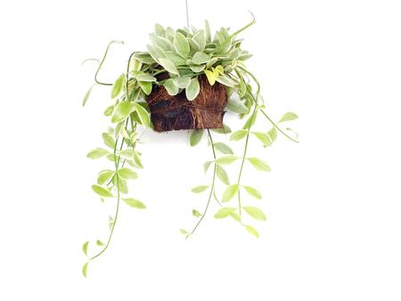 house plant hanging on white background Stock Photo