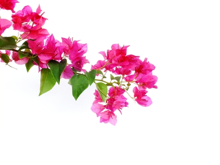 bougainvilleas isolated on white background Stock Photo