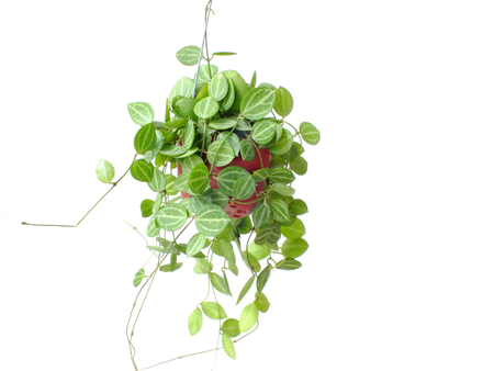 green house plant ivy hanging on white background