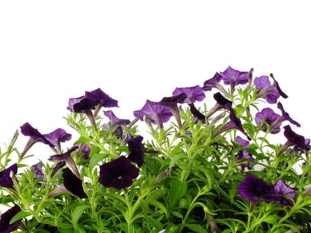 purple petunia flowers close up on white background growing hanging petunias copy space Stock Photo