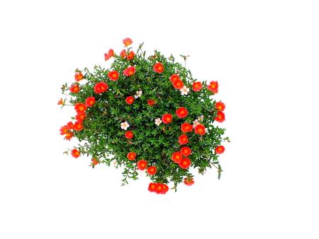 colorful flower bush isolated white background