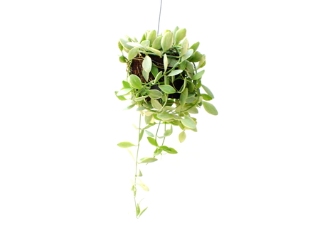 green plant hanging isolated collection on white background Stock Photo