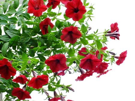 colorful blooming petunias flowers isolated on white background