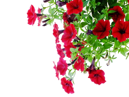 red petunia flowers isolated on white background Stock Photo
