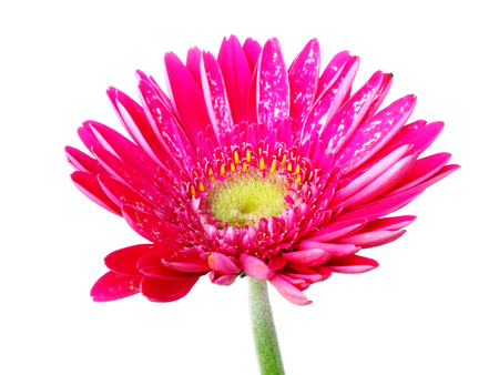 Red daisy gerbera flower isolated on white background