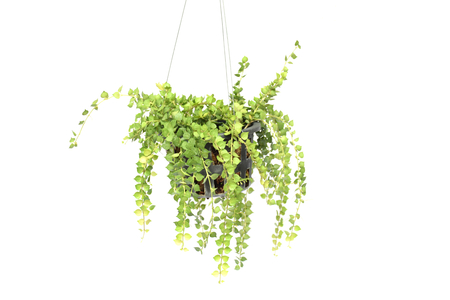 green plant hanging isolated collection on white background Zdjęcie Seryjne