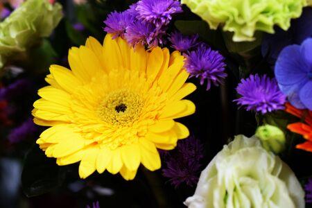 Yellow Daisy Gerbera Flower Blooming Close up