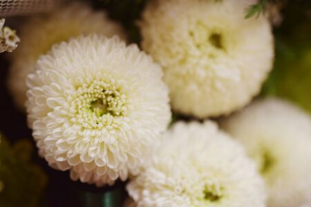 White chrysanthemum flower close up