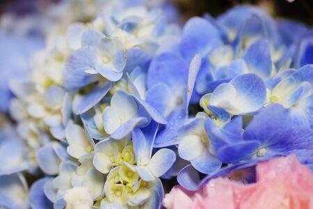 Beautiful purple hydrangea flower close up 版權商用圖片