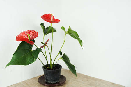 Red Anthurium Flower house plant decoration on table and white wall background