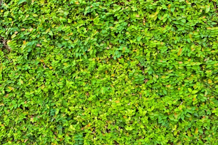 Leaf-covered wall for background  Banco de Imagens