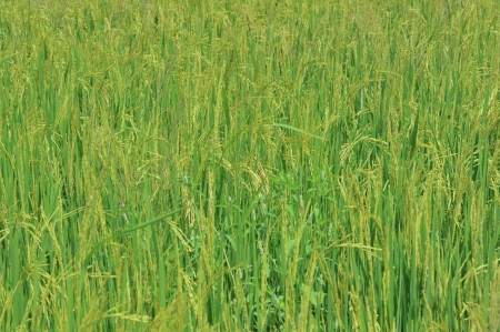 open view of field of growing wheat crops photo