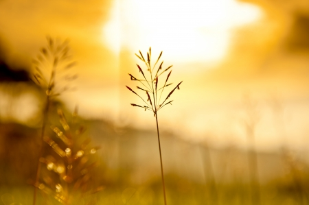 cane plumes: Grass Plumes At Sunset