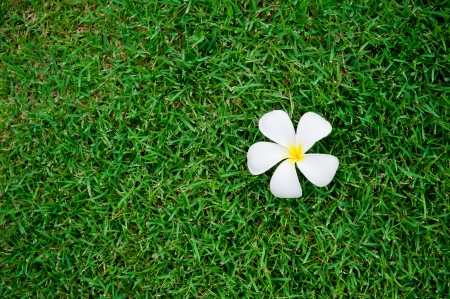 Tropical flowers of Plumeria on green grass background