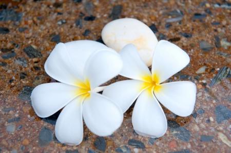 plumeria flower on the stone photo