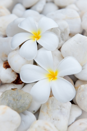 plumeria flower on the stone