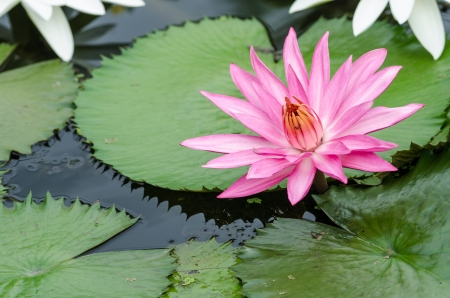 The beautiful pink lotus thailand photo