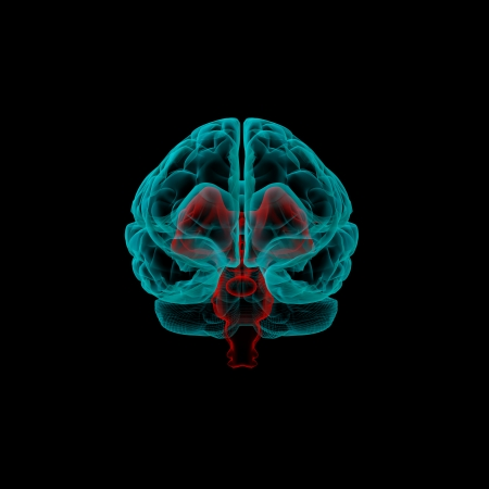 brain stem: Stem part - Human brain in x-ray view