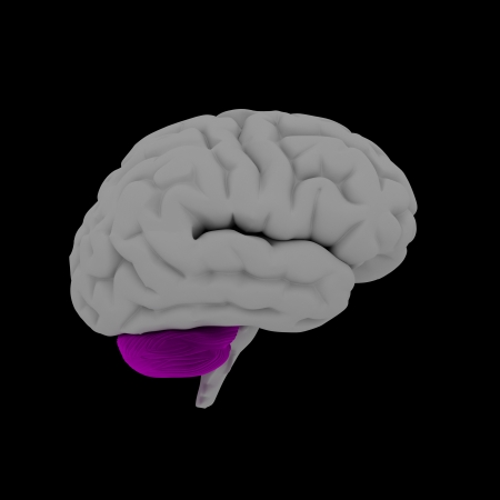 Cerebellum - human brain in side view photo