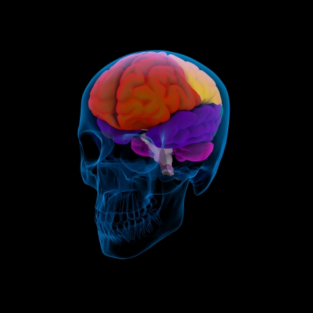Colored sections of a  human brain-cerebrum - sdie view