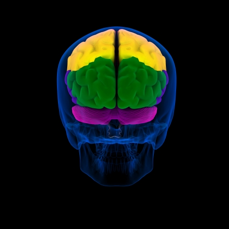Colored sections of a human brain-cerebrum - back view Stock Photo