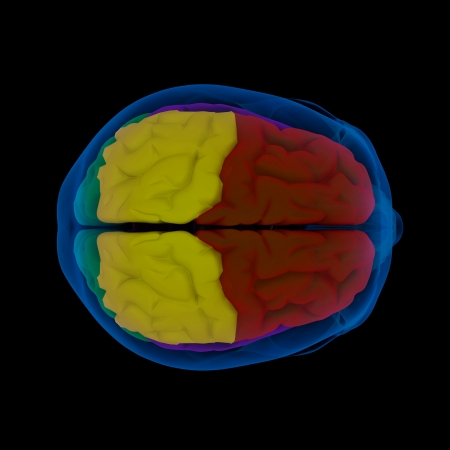 Colored sections of a human brain-cerebrum - top view Stock Photo