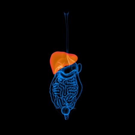 Human digestive system liver red colored - front view photo