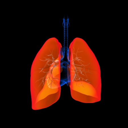 respire: Human respiratory system lung red colored - back view Stock Photo