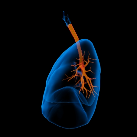 bronchiole: 3D medical illustration - lungs with visible bronchi -side view Stock Photo