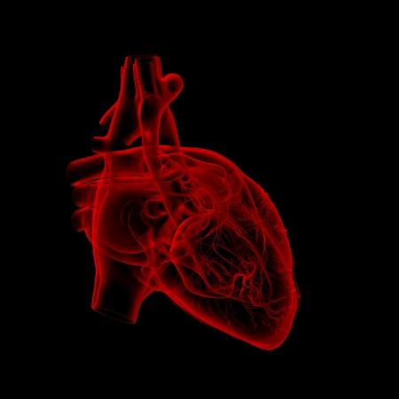 male parts: human heart - anatomy