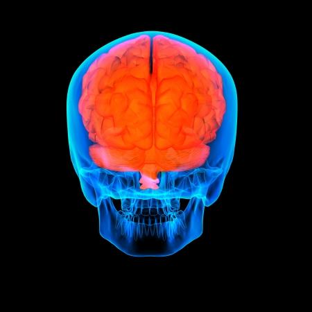 cerebra: Human red brain X ray - back view