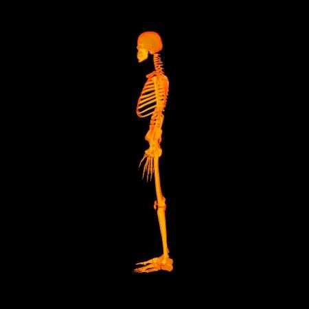human skeleton: Red skeleton - side view