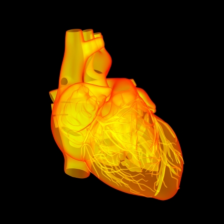 Red human heart - anatomy