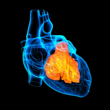 tricuspid valve: 3d render Heart atrium - front view