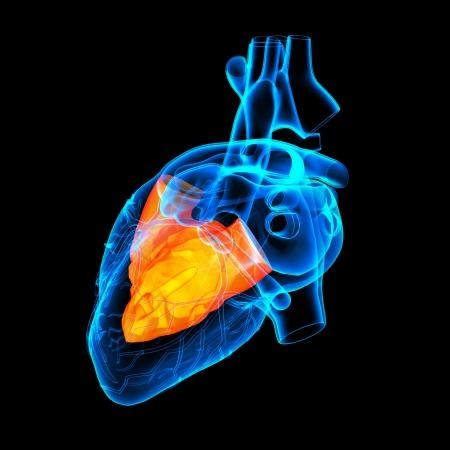 tricuspid valve: 3d render Heart atrium - back view