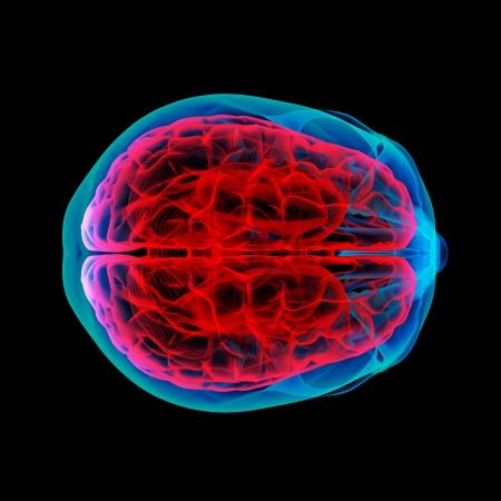 Human brain X ray - top view