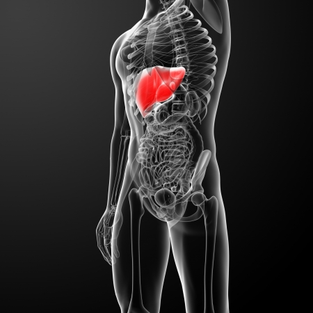 liver cancer: Human digestive system liver red colored - front view Stock Photo