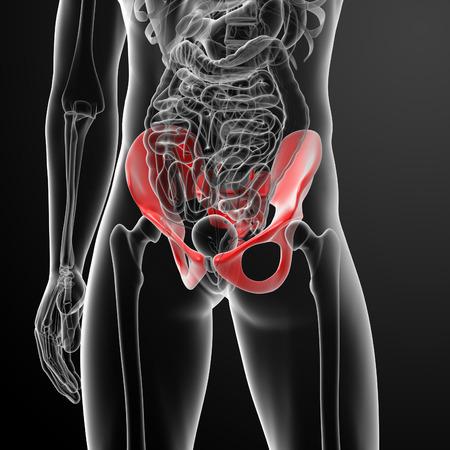 illustration of human pelvis