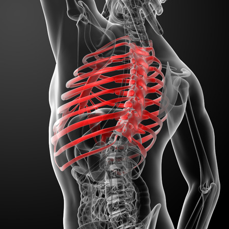 3d render illustration of the rib cage illustration