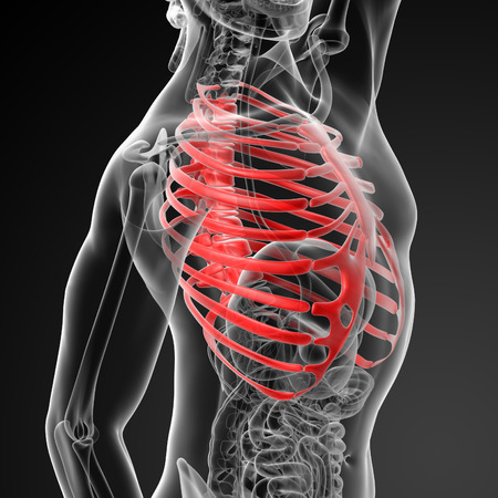 3d render illustration of the rib cage Stock Photo
