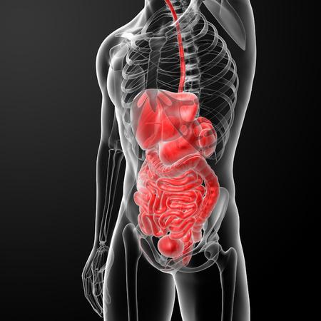 Human digestive system photo