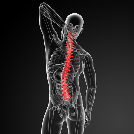 3d render Human Spine Anatomy photo