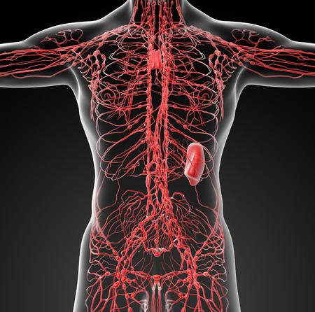 lymphatic system - front view Stock Photo