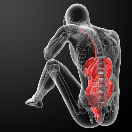 Human digestive system - back view Stock Photo