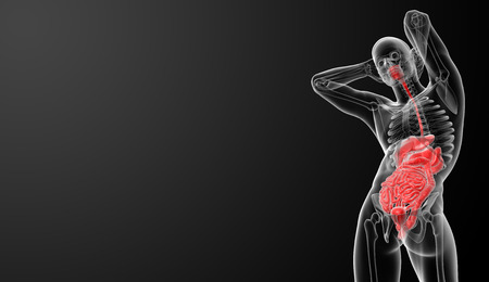 Human digestive system  - bottom view photo