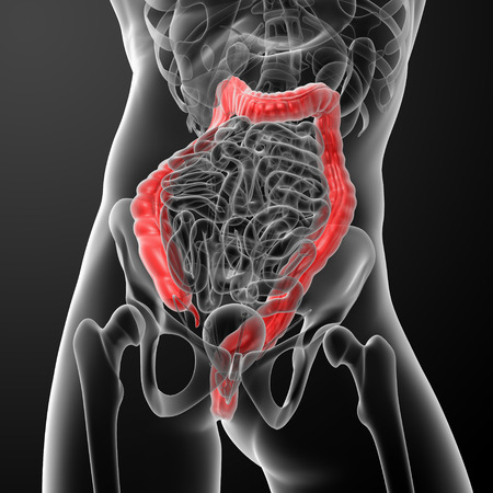 Human digestive system large intestine red colored - close-up Stock Photo - 26460312