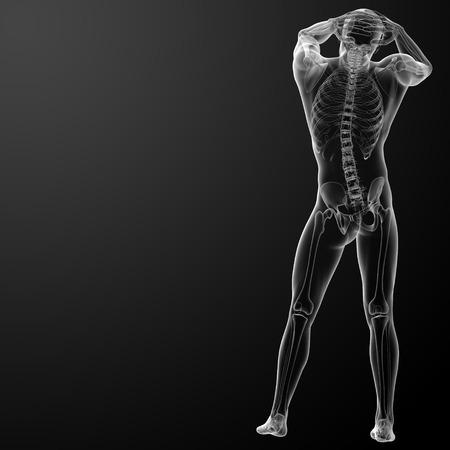 3d rendered skeleton - back view photo