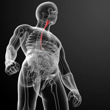 esophagus: 3d rendered illustration of the esophagus - bottom view