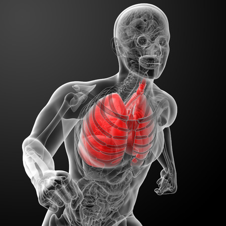 bronchiolar: Human respiratory system in x-ray - lungs front view